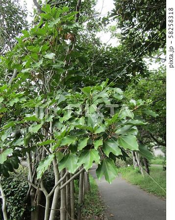 着ると姿が隠せる簑のように葉が蜜についるカクレミノの実 58258318