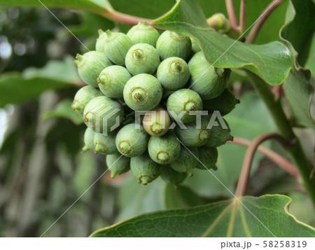 着ると姿が隠せる簑のように葉が蜜についるカクレミノの実 58258319