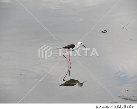 谷津干潟で繁殖している水辺の貴婦人セイタカシギ 58258838