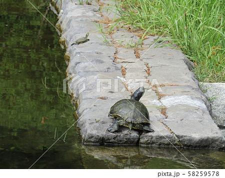 稲毛海浜公園の池に小亀を思う親亀 58259578