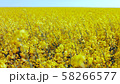 Field of rapeseed against sky with clouds. 58266577