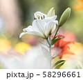 百合の花 58296661