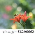 百合の花 58296662