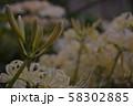 白い彼岸花の蕾 58302885