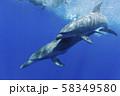 ボニンブルーの海を泳ぐミナミハンドウイルカの親子 58349580