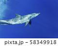 ボニンブルーの海を泳ぐミナミハンドウイルカ 58349918