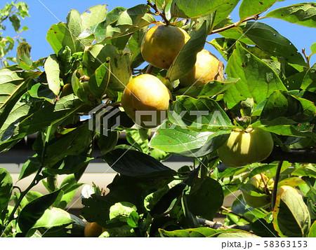 もうすぐ熟す我が家の柿の実 58363153