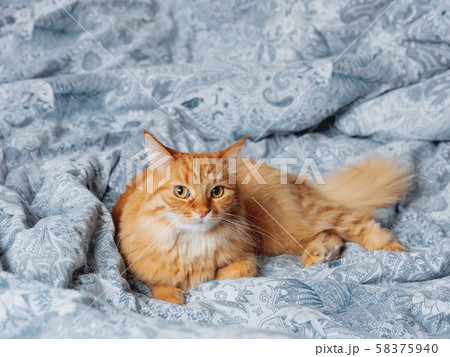 Cute ginger cat lying in bed. Fluffy pet comfortably settled to sleep or to play. Cozy home background, morning bedtime. 58375940