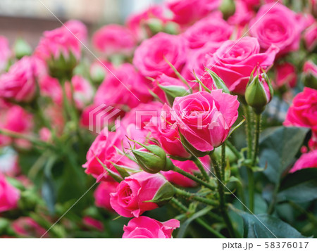 Natural summer background with pink roses. Beautiful blooming flower on green leaves background. 58376017