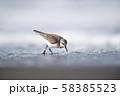 トウネン(北海道・コムケ湖) 58385523