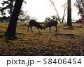 奈良公園の鹿 秋の紅葉 58406454