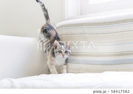 ソファで遊ぶ仔猫 58417562