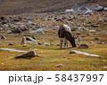 Yak grazing in Himalayas 58437997