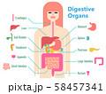 各部位のカットアウトと名称が記載された消化器官のカラフルでシンプルなイラスト 58457341