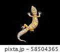 ヒョウモントカゲモドキ アルビノHG 58504365