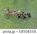 マガモの親子( 大阪城 日本庭園 ) 58508358