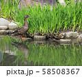 マガモの親子( 大阪城 日本庭園 ) 58508367