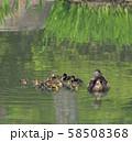 マガモの親子( 大阪城 日本庭園 ) 58508368