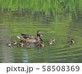 マガモの親子( 大阪城 日本庭園 ) 58508369