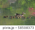 マガモの親子( 大阪城 日本庭園 ) 58508373