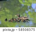 マガモの親子( 大阪城 日本庭園 ) 58508375