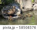 マガモの親子( 大阪城 日本庭園 ) 58508376