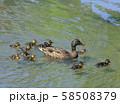 マガモの親子( 大阪城 日本庭園 ) 58508379