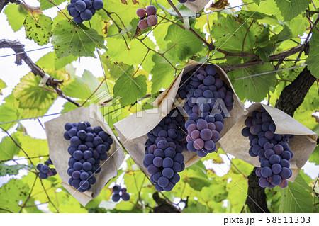 (山梨県)御坂町、葡萄園のブドウ 黒色系 58511303