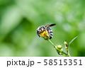 ヒメハラナガツチバチ 58515351