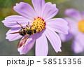 ヒメハラナガツチバチ 58515356