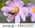 ヒメハラナガツチバチ 58515357