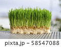 Wheat Plant growing. Nature background of fresh nature organic food 58547088