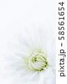 菊 白い花 背景素材 58561654