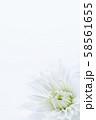 菊 白い花 背景素材 58561655