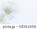 菊 白い花 背景素材 58561656