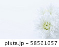 菊 白い花 背景素材 58561657