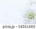 菊 白い花 背景素材 58561660