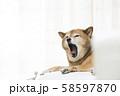 あくびをする柴犬 58597870