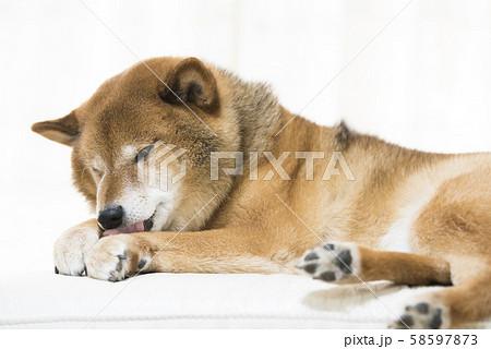 柴犬 リラックス 58597873