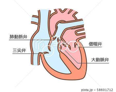心臓 弁膜 文字付 58601712
