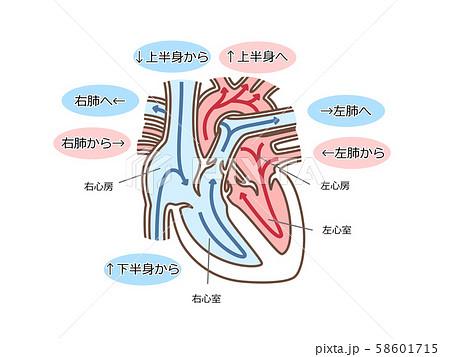 心臓 血流 文字付 58601715