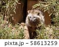 ホンドタヌキ 多摩動物公園 58613259