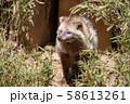 ホンドタヌキ 多摩動物公園 58613261