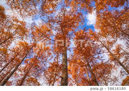 秋のメタセコイアの森を見上げる 58616180