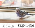 虎皮鸚鵡 Cute budgie 可愛 Budgerigar セキセイインコ 鳥 bird 鸚哥 58641439