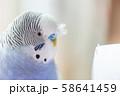 虎皮鸚鵡 Cute budgie 可愛 Budgerigar セキセイインコ 鳥 bird 鸚哥 58641459