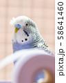 虎皮鸚鵡 Cute budgie 可愛 Budgerigar セキセイインコ 鳥 bird 鸚哥 58641460