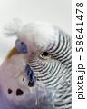 虎皮鸚鵡 Cute budgie 可愛 Budgerigar セキセイインコ 鳥 bird 鸚哥 58641478