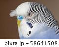 虎皮鸚鵡 Cute budgie 可愛 Budgerigar セキセイインコ 鳥 bird 鸚哥 58641508