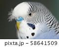 虎皮鸚鵡 Cute budgie 可愛 Budgerigar セキセイインコ 鳥 bird 鸚哥 58641509